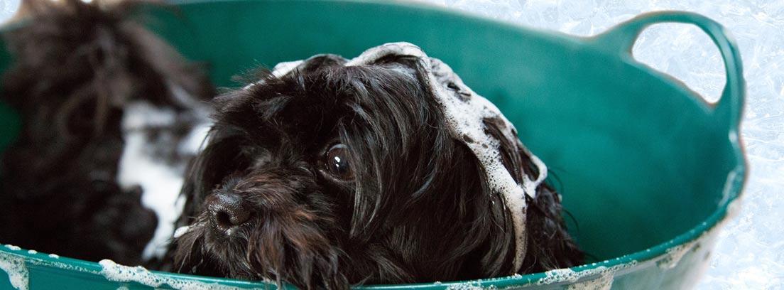 Perro dentro de un barreño con espuma de un champú antiparásitos para mascotas