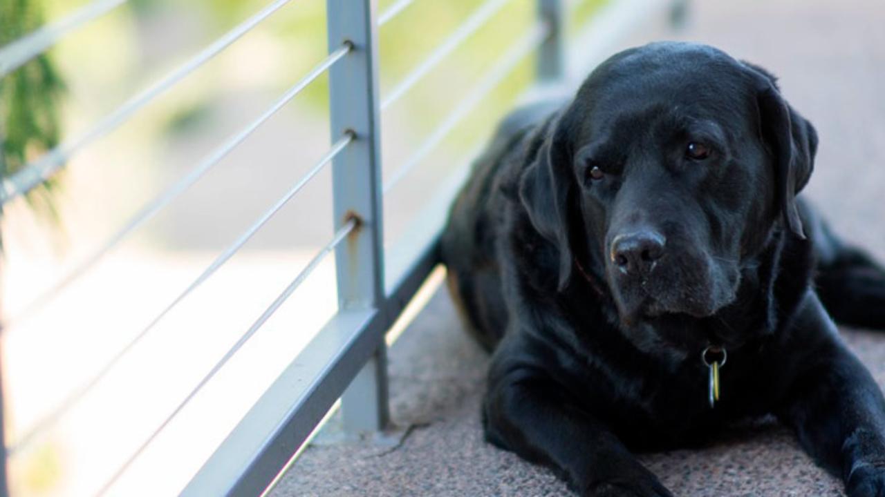demencia senil en perros tratamiento