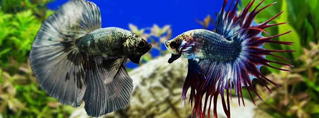 : Dos peces Betta en un acuario