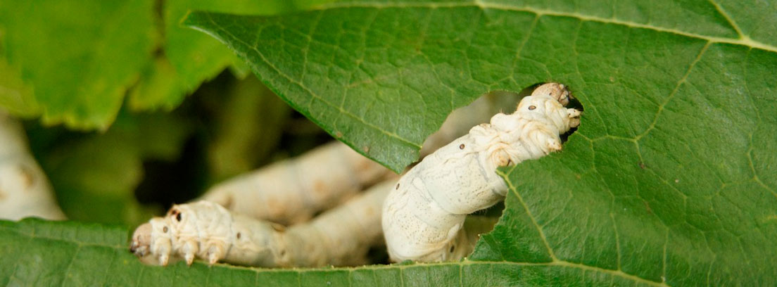Gusanos de seda entre hojas de morera.