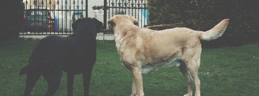 Perro negro junto a perro marrón mirando hacia una puerta de vallado.