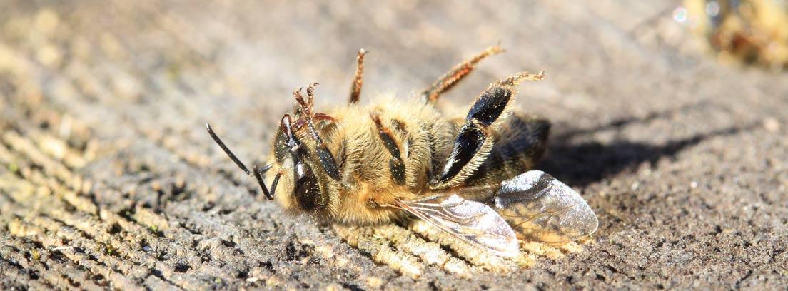 Una abeja muerta