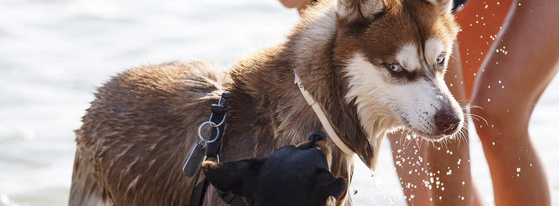Mujer refrescando a su Husky con agua en la playa