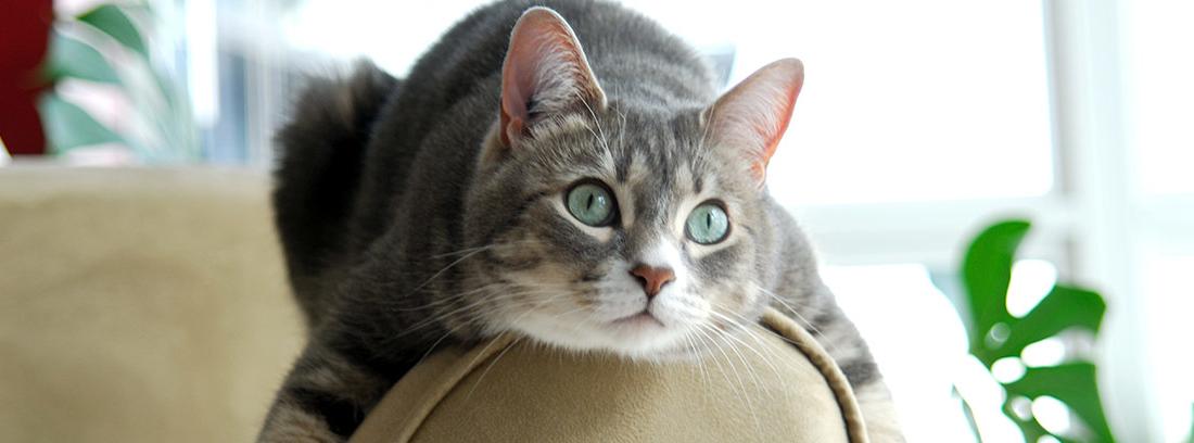 Gato apoyado en el reposabrazos de un sofá