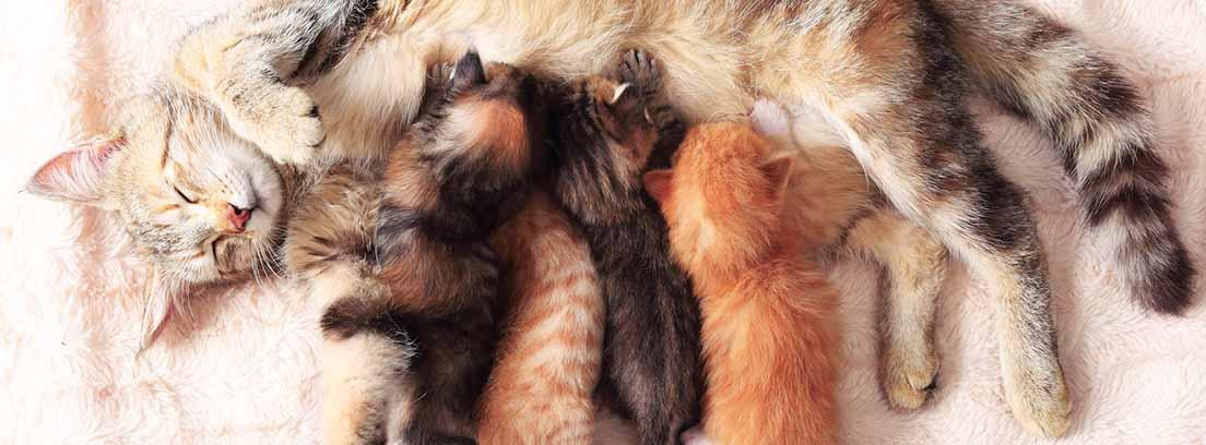 Gata con una camada de 4 gatitos mamando
