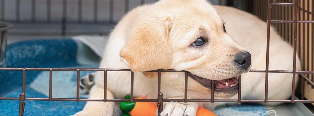 Cachorro de raza labrador mordiendo su transportín