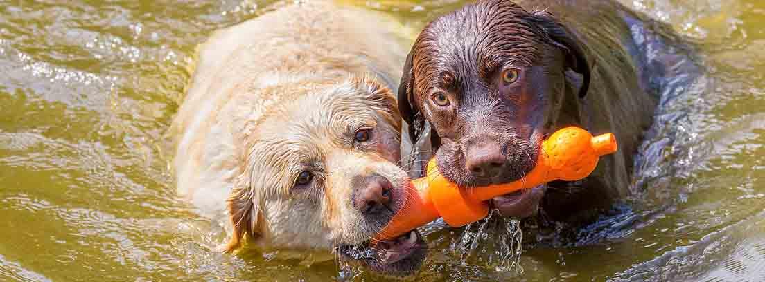 Dos perros de raza labrador sujetan un juguete con su boca