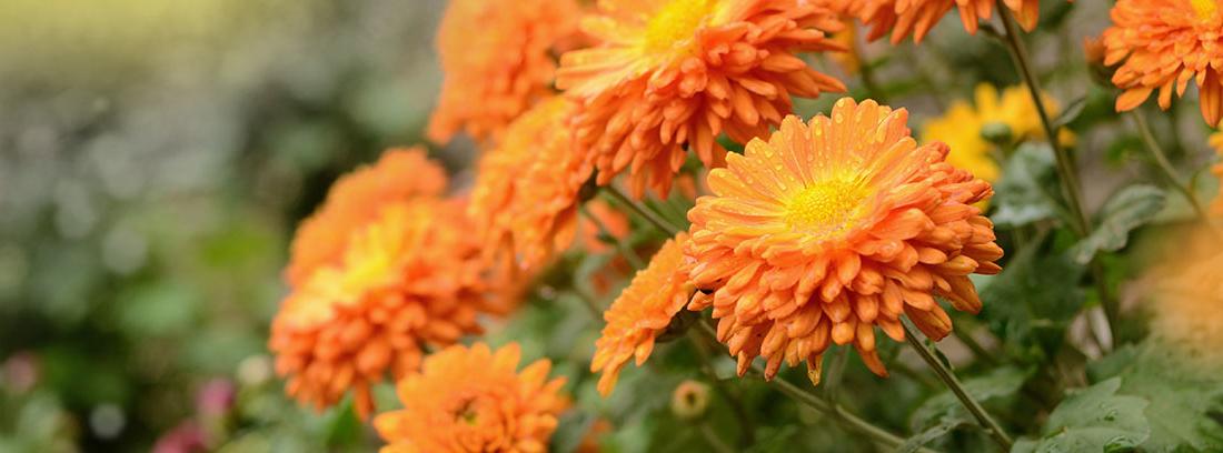 Planta de crisantemo con flores naranjas