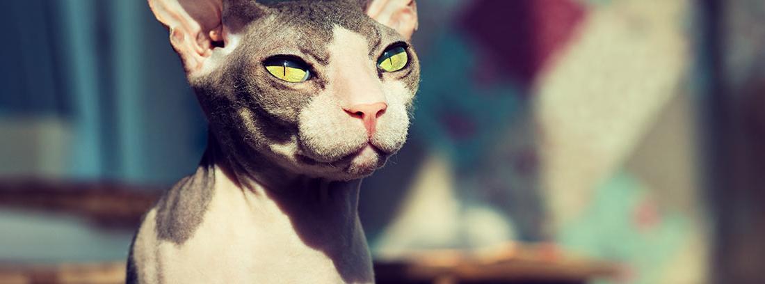 cuidar piel gatos esfinge