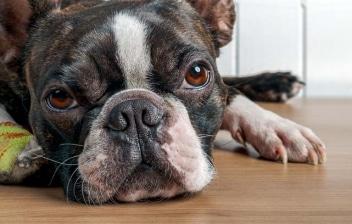 Perro de raza Boston Terrier tumbado en el suelo y con la pata vendada