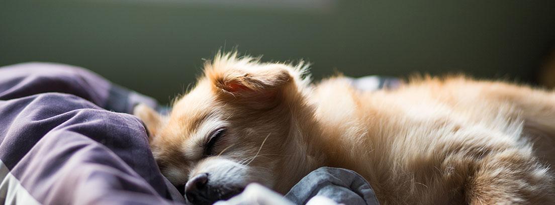 Perro de color marrón claro con ojos cerrados tumbado sobre una cama
