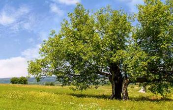 Árbol de morera de gran tamaño en el campo