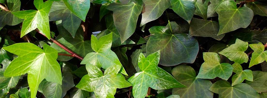 Plantas tapizantes pisables como alternativas al césped
