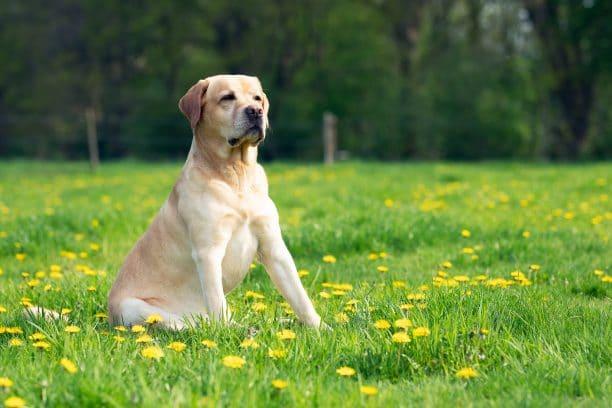 Perros guía, labrador