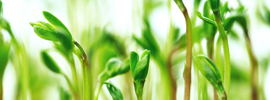 Hojas y tallo de la planta de la lenteja
