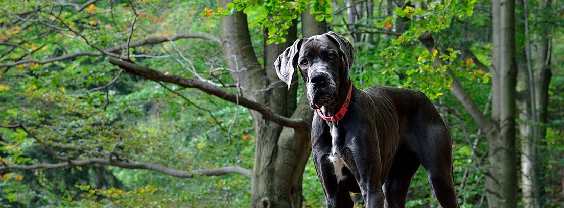 Gran danés negro en el bosque