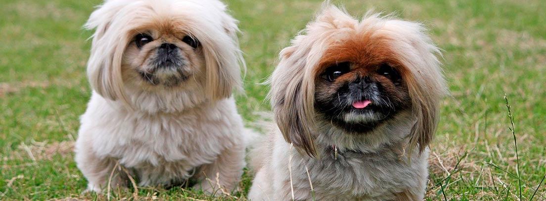 Dos perros pekineses en la hierba