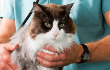 Veterinario sujetando a un gato