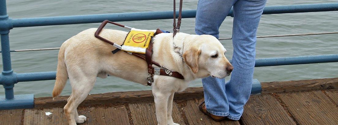 Labrador retriever trabajando como perro guía.