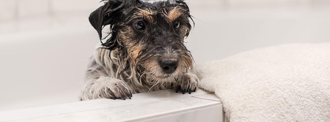 Perro asomando la cabeza por la bañera