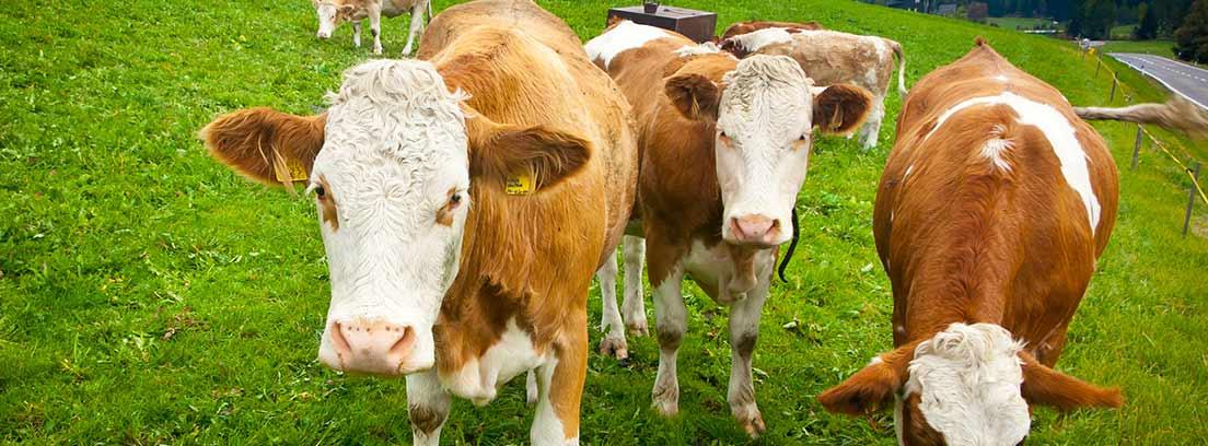 Vacas de raza Ayrshire pastando en la montaña