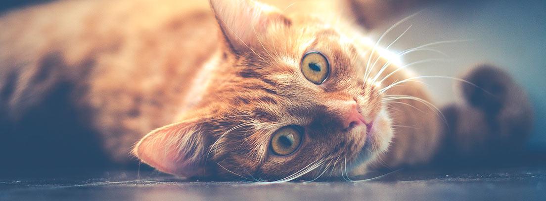 Gato marrón tumbado mirando a la cámara