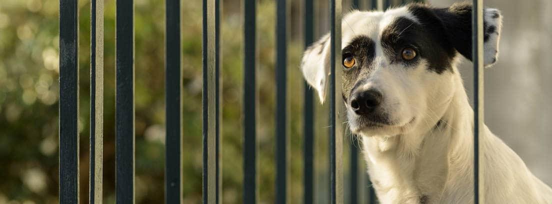 Perro mestizo mirando por detrás de unas rejas.
