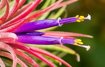 Planta de aire con tonos rosas y morados