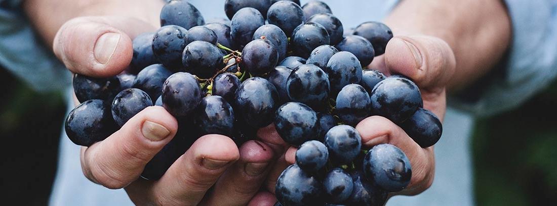 Manos sostienen racimo de uvas negras naturales.