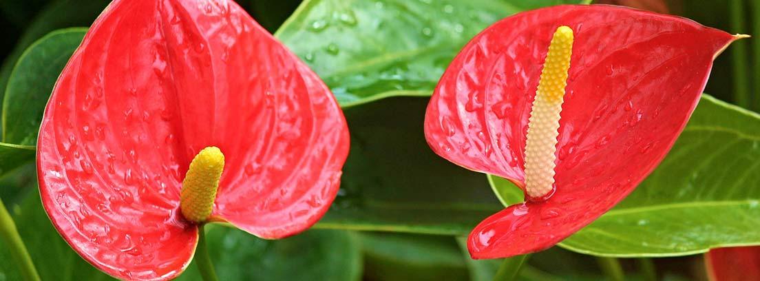 Primer plano de las flores de Anthurium.