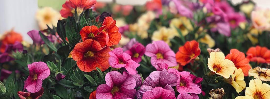 Petunias en macizo de diferentes colores y altura baja.