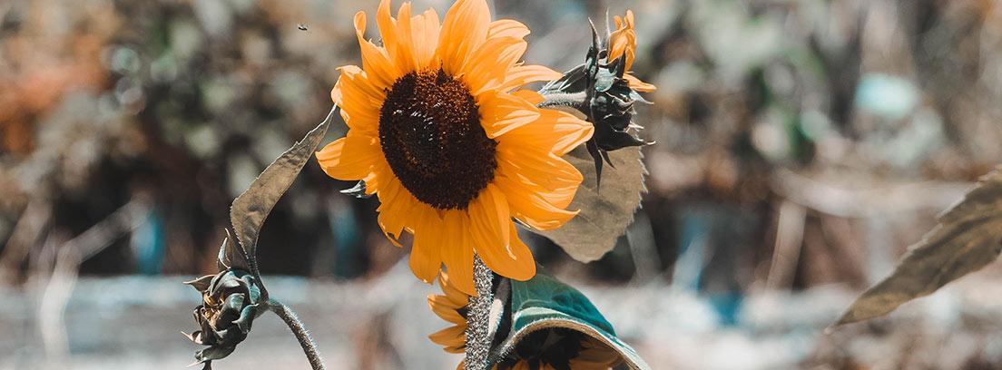 Girasol abierto y amarillo junto a otros mirando hacia otros lados.
