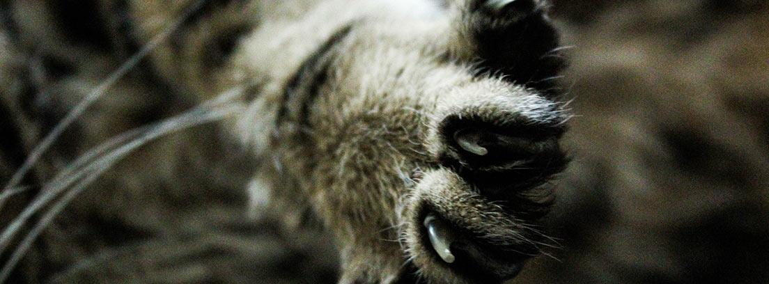 Gato mostrando las uñas de una de sus patas.