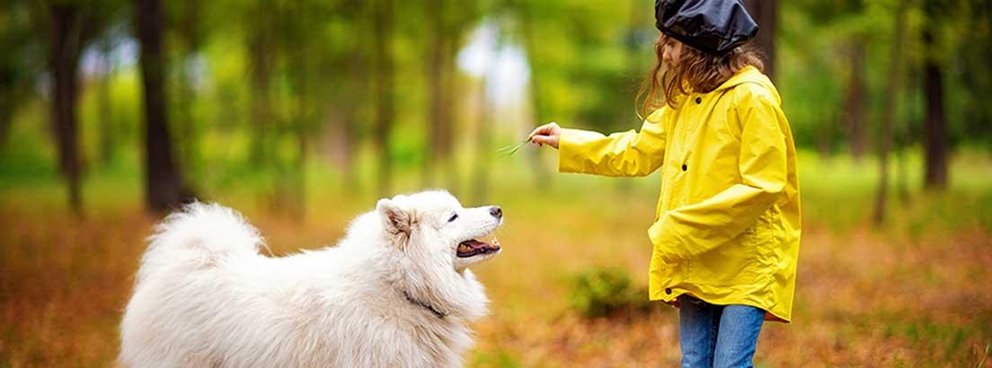 perro samoyedo con niña jugando con el perro