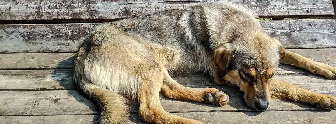 perro tumbado en el suelo con aparente malestar