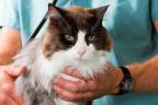 gato con cara de enfermo en el veterinario.