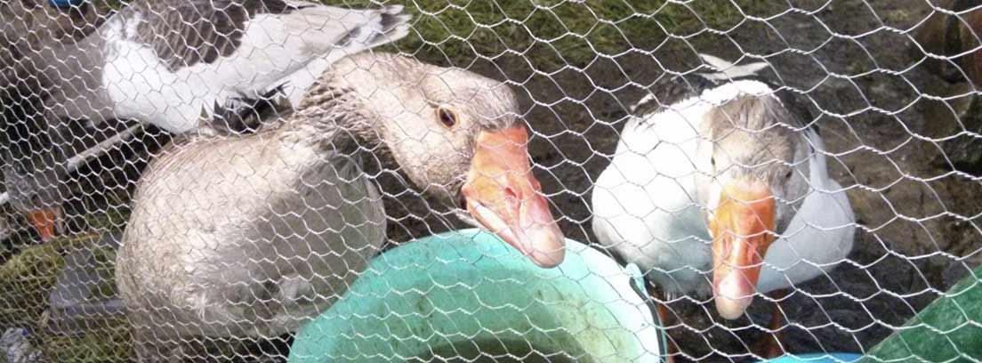 Patos detrás de una valla metálica