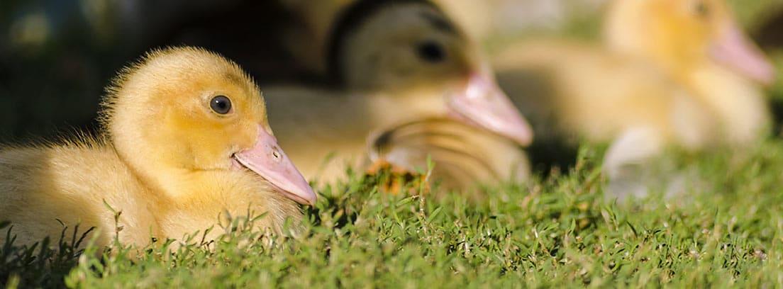 Crías de patos sentados en la hierba