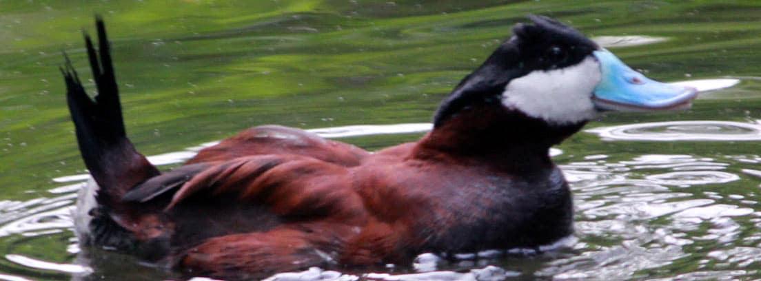 Pato zambullidor grande o rufo americano nadando en el agua