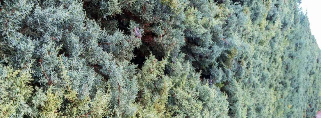 Vista de una arizonica alta y con mucho volumen