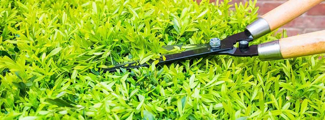 Tijeras De jardín podando seto verde por la parte superior.