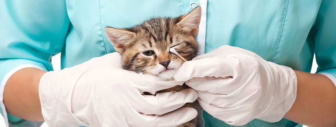 Enfermedades más frecuentes en los ojos de un gato