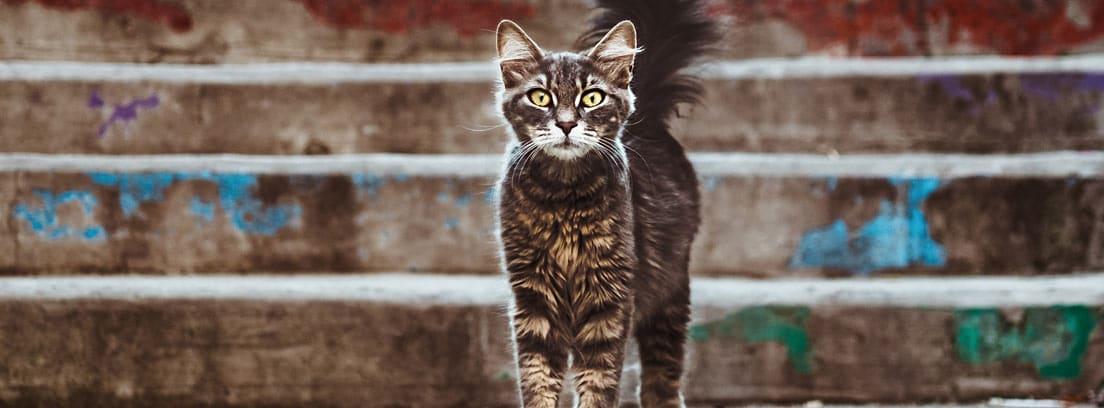 Gato con cola y orejas levantadas delante de unos escalones de calle.