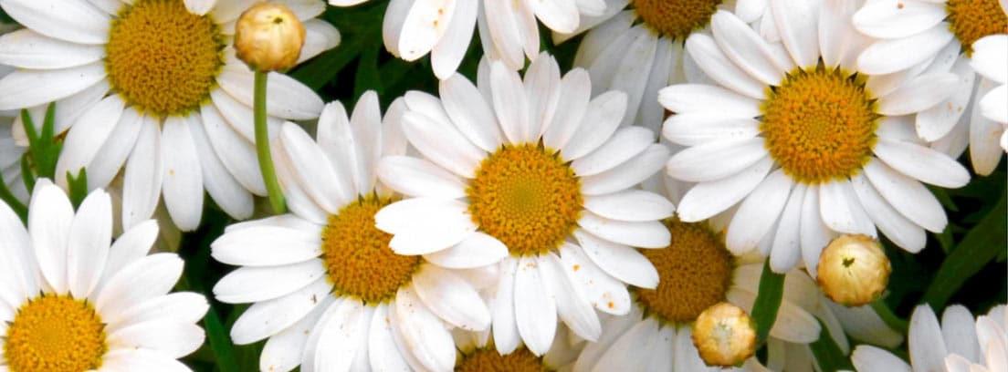 Planta de la margarita con flores