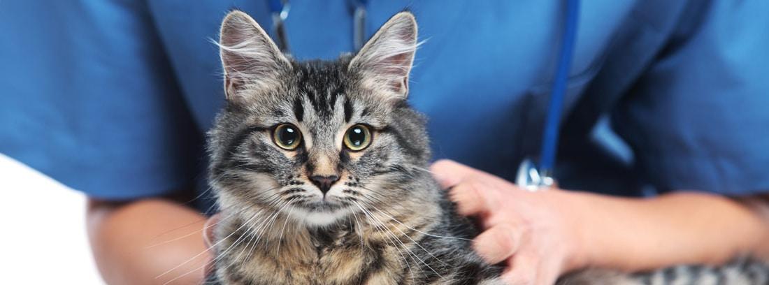 primer plano de gato atigrado. Al fondo las manos de un veterinario con bata azul