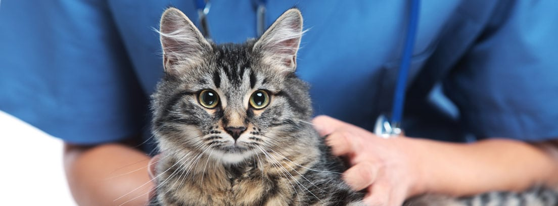 Anemia en gatos: síntomas y tratamiento
