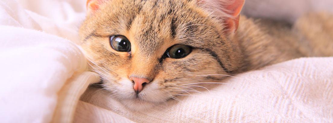 primer plano de gato atigrado tumbado sobre una mantita de lana rosa.
