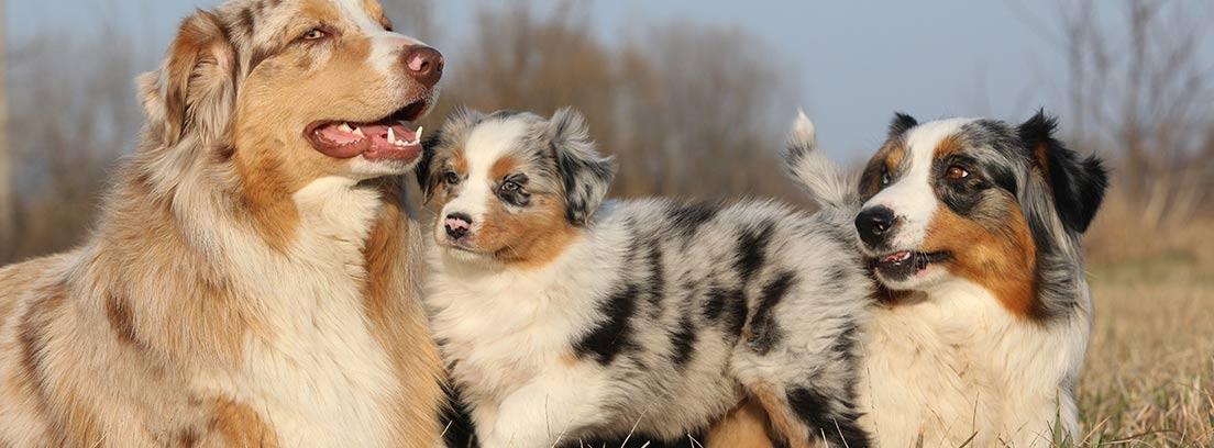 Perra ovejera de color marrón y blanco con dos cachorros