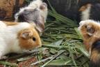 cuatro roedores comiendo hierba del suelo.