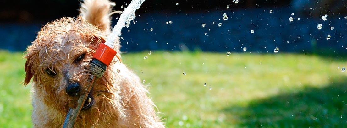 Perro jugando en el césped con una manguera